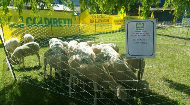 Pecore tosaerba