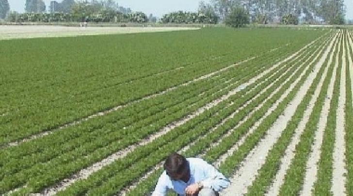 Coltivazione della carota nel Fucino